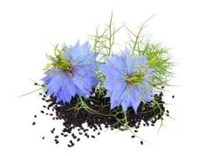 Huile de nigelle, fleurs de nigelle et grains de nigelle