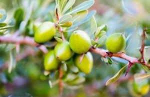 ARbuste dont est extraite l'huile d'argan