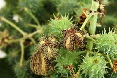 Plant donnant de l'huile de ricin