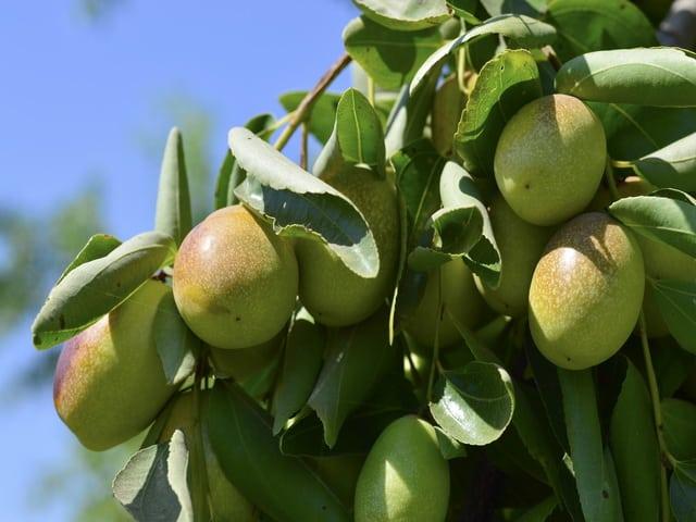 Huile naturelle jojoba meilleur des soins pour la peau et les cheveux