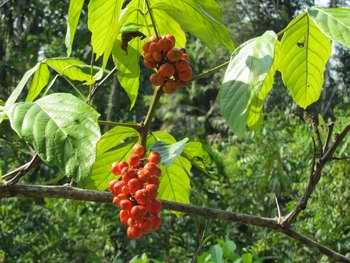 Le guarana est une plante d'Amazonie
