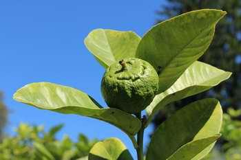 Plant de citron