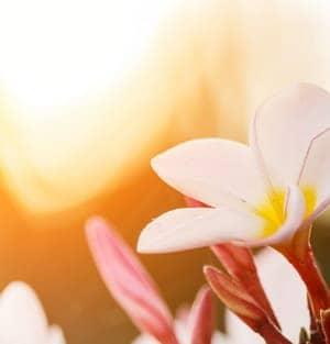 les fleurs sauvages sont cueillies, dans un environnement paisible, non pollué, le matin au lever du soleil