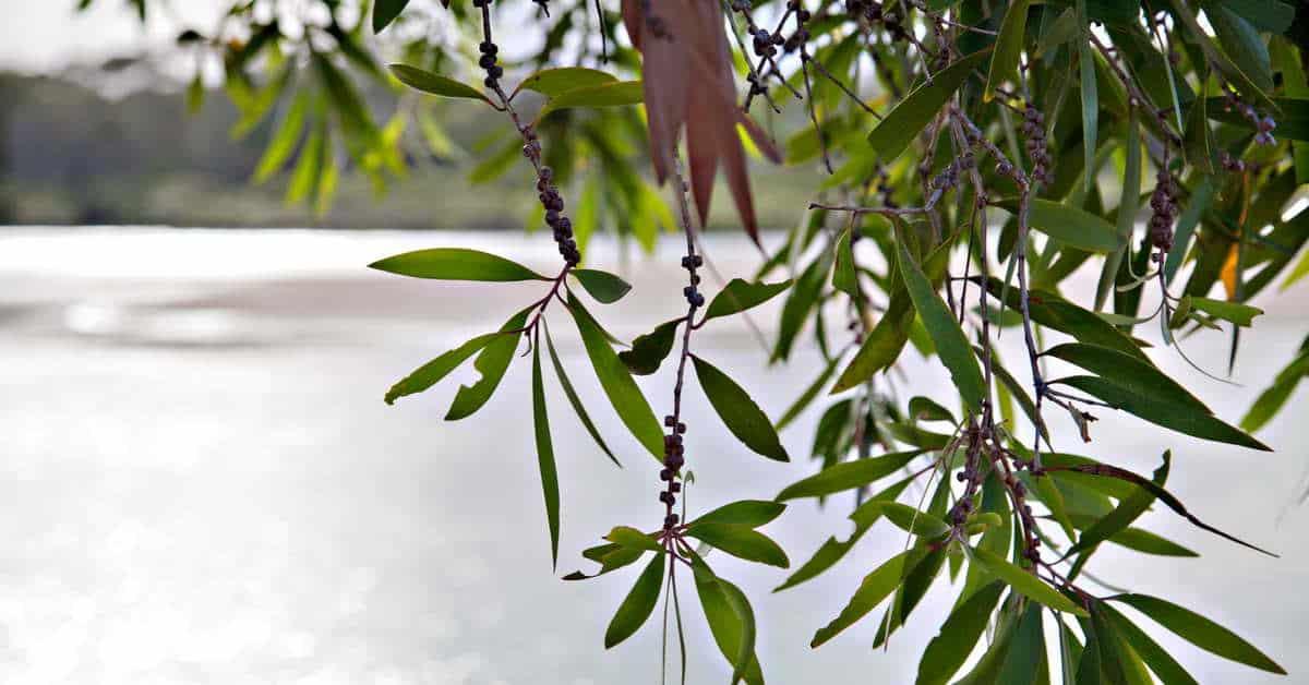 l huile essentielle d arbre th ou tea tree l. Black Bedroom Furniture Sets. Home Design Ideas
