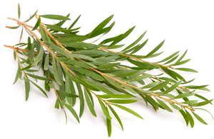Tea tree ou arbre à thé, une huile essentielle indispensable