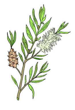 Composition du Tea Tree