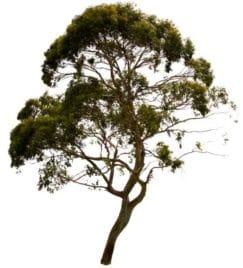 Les eucalyptus se trouvent partout dans le monde