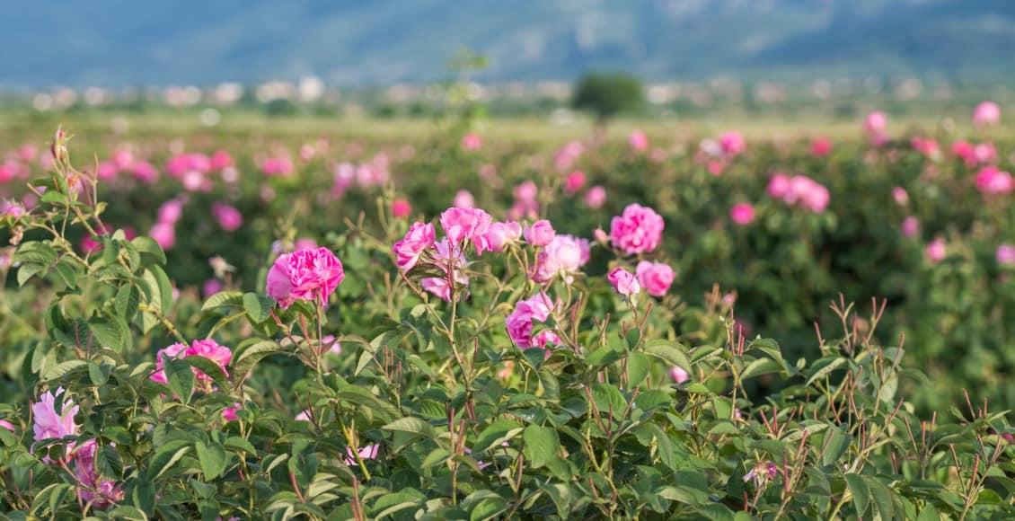 Découvrez l'huile essentielle de rose de Damas !